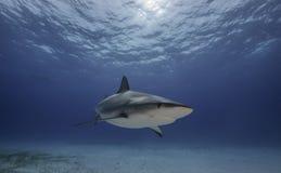 加勒比礁石鲨鱼大巴哈马岛,巴哈马 免版税库存照片