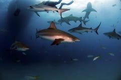 加勒比礁石鲨鱼 免版税库存照片