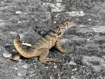 加勒比蜥蜴 免版税库存图片