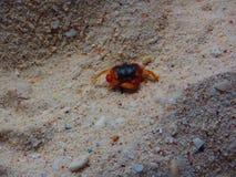 加勒比螃蟹沙子 库存图片