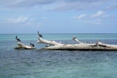 加勒比鹈鹕海运 库存照片