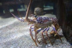 加勒比龙虾 库存图片