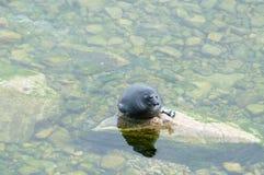贝加尔湖封印nerpa 免版税库存照片