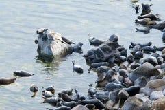 贝加尔湖封印nerpa 库存照片