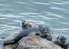 贝加尔湖封印nerpa 免版税库存图片