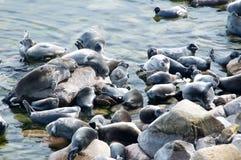 贝加尔湖封印nerpa 免版税图库摄影