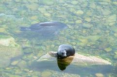 贝加尔湖封印nerpa 图库摄影