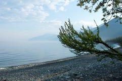 贝加尔湖湖 岸上偏僻的树在春天 库存图片