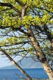 贝加尔湖湖 岸上偏僻的树在春天 免版税库存图片