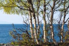 贝加尔湖湖 岸上树在春天 免版税库存照片