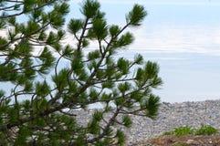 贝加尔湖湖 岸上树在春天 免版税图库摄影