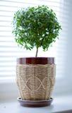 加州桂结构树 免版税图库摄影