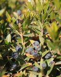 加州桂莓果 库存图片