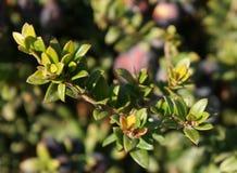 加州桂莓果 免版税库存照片