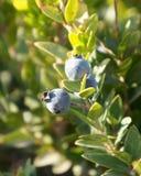 加州桂莓果 免版税库存图片
