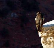 加州秃鹰 免版税库存图片