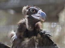 加州秃鹰 库存照片