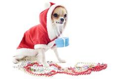加工好的奇瓦瓦狗 免版税库存照片
