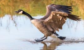 更加巨大的加拿大鹅着陆 免版税图库摄影