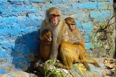 加德满都猴子 免版税库存照片