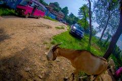 加德满都,尼泊尔, 2017年11月02日:关闭野山羊,在室外醒来在黏土道路在斋浦尔,印度,鱼 免版税库存图片