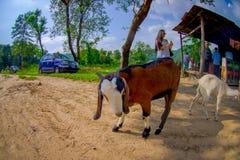 加德满都,尼泊尔, 2017年11月02日:关闭野山羊,在室外醒来在黏土道路在斋浦尔,印度,鱼 免版税库存照片