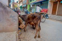 加德满都,尼泊尔- 2016年10月25日, :威胁寻找在纸板箱里面的食物在路的街道 免版税库存图片