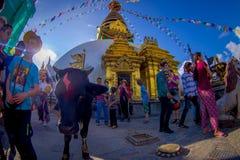 加德满都,尼泊尔2017年10月15日:走接近一头圣洁黑母牛的未认出的人民,与菩萨的眼睛的 库存照片