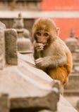 加德满都,尼泊尔- 2016年12月31日:smoll猴子 免版税库存照片