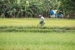 加拉信府,泰国- 8月27 :一个人收获草在co 库存图片