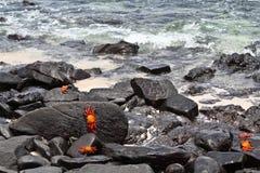 加拉帕戈斯与萨莉Lightfoot螃蟹的熔岩岸 免版税库存照片