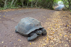 加拉帕戈斯乌龟十字架带领通过森林的路道路 库存图片