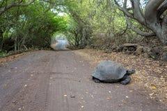 加拉帕戈斯乌龟十字架带领通过森林的路道路 免版税库存照片