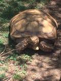 加拉帕戈斯乌龟 免版税库存照片
