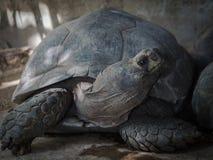 加拉帕戈斯乌龟 免版税库存图片