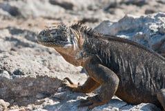 加拉帕戈斯土地鬣鳞蜥 库存照片