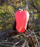 加拉帕戈斯壮观的frigatebird Fregata magnificens 库存图片