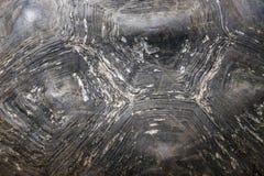 加拉帕戈斯巨人龟甲 库存图片