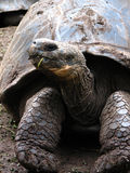 加拉帕戈斯巨型少见草龟 免版税库存照片