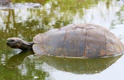 加拉帕戈斯巨型游泳草龟 图库摄影