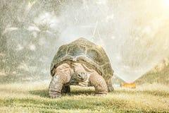 加拉帕戈斯巨型草龟和水喷雾器,太阳发出光线 免版税库存照片