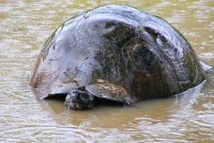 加拉帕戈斯巨型草龟在圣克鲁斯岛的一个池塘在Galap 库存图片