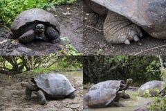 加拉帕戈斯巨型草龟拼贴画 免版税库存图片