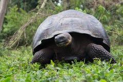 加拉帕戈斯巨型草龟,圣克鲁斯高地 库存图片