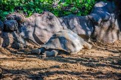 加拉帕戈斯巨型草龟, Chelonoidis老黑在Loro Parque, Tene 免版税库存图片