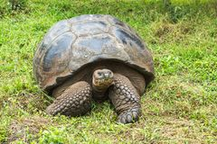 加拉帕戈斯巨型草龟 库存图片