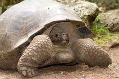加拉帕戈斯巨型草龟 免版税库存图片