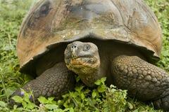 加拉帕戈斯巨型草龟 免版税库存照片