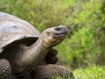 加拉帕戈斯巨型草龟(Chelonoidis老黑),圣克鲁斯 库存照片
