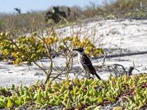 加拉帕戈斯模仿鸟, Nesomimus parvulus,在五颜六色的沿海植被,圣克鲁斯,加拉帕戈斯群岛,厄瓜多尔 图库摄影